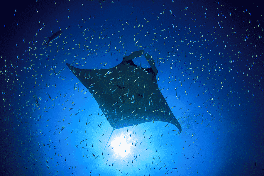 In the Water with Manta Rays on a Night Snorkel in Kona