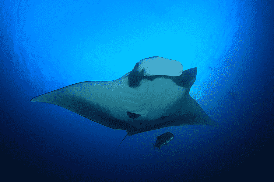 In the Water with Manta Rays on a Snorkel Tour in Kona